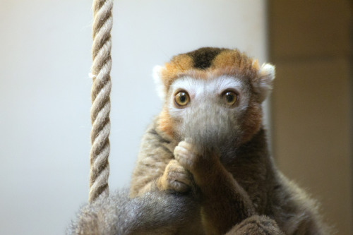 "fuckyeahlemurs:  Crowned Lemur (by Izzie Turley) — ""You can't seeeeee meeeeeee."""