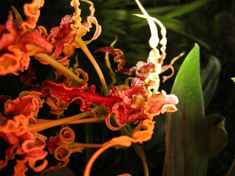 naturalattractions:  Natural attractions in Fiji Octopus Orchid