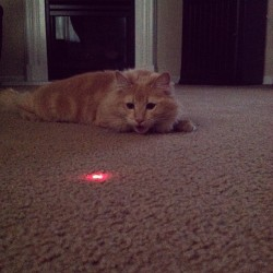 She loves playing around with the laser and acting like a dog haha#chloe#catactinglikeadog#socute#loveher