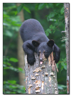 "Black Bear Cub  ""Ha, Ha!  Can't Get Me!"" by paddler60 on Flickr."