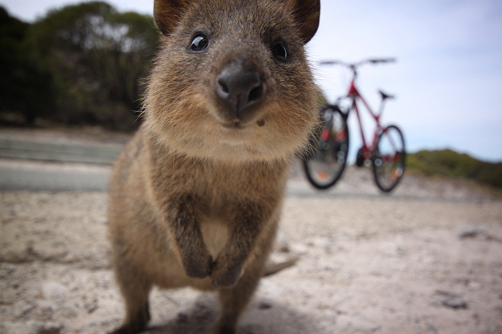 giraffe-in-a-tree:  Quokka! by Katy Clemmans
