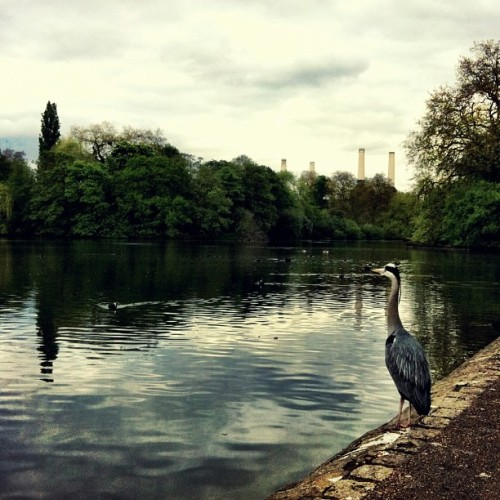 #london #batterseapark #batterseapowerstation #birds #heron #pond #lake #water #park  (at Battersea Park Lake)