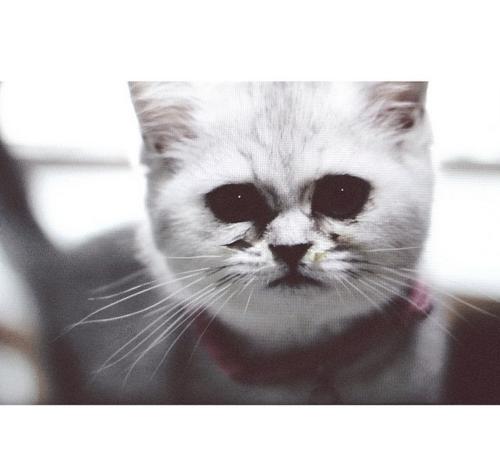 peanutandnala cats cat britishshorthair
