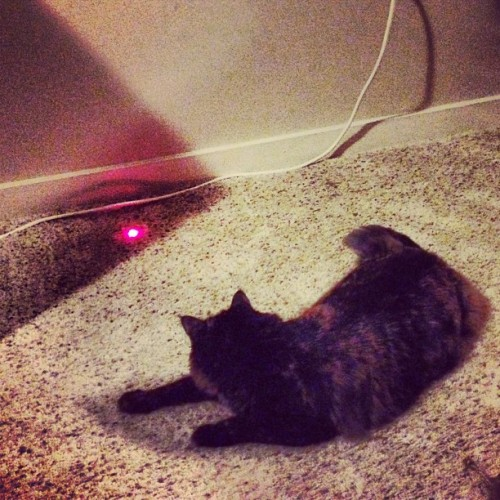 Cat + laser pointer = hours of fun