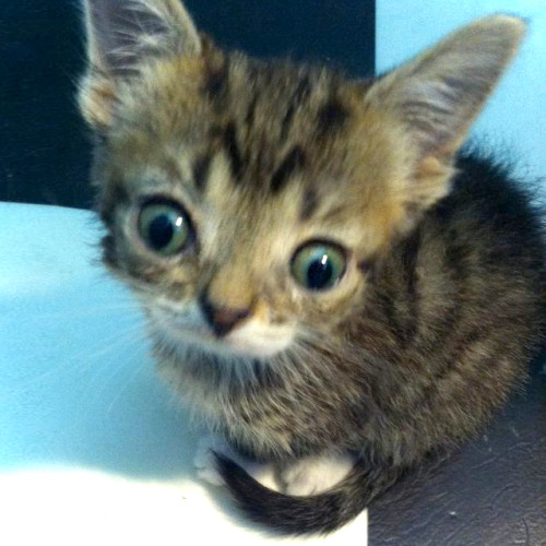 bublog:  This is Lil Lil BUB. 6 weeks, 6 ounces and clearly from another planet. And here is 3 minutes of BUB as a kitten, just for you: BUB AS A KITTEN VIDEO  Everyone should probably watch this video, you know, if they like happiness and stuff