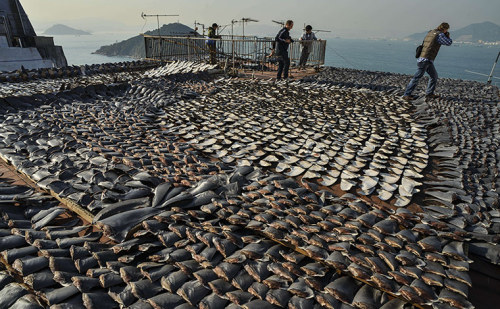 ecocides:  Thousands of shark fins dry on the rooftop on a building in Kennedy Town, Hong Kong. Environmentalists want China to outlaw the trade and practice of shark finning, where fins are chopped off the sharks and the bodies thrown back into the water to die. It is estimated that up to 75,000 sharks a year are killed to fulfil the demand in Hong Kong and mainland China for shark fin soup, which is considered a delicacy that is popular in traditional banquets and weddings. Shark fin also has the reputation of benefiting health and boosting sexual potency. | image by Antony Dickson