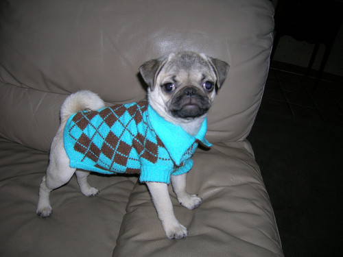 Puglet knows how to work the argyle.