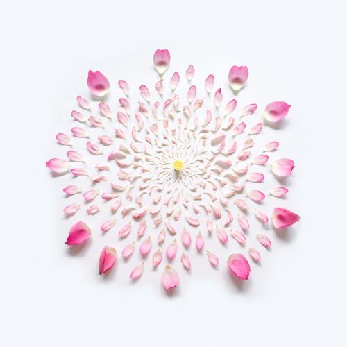 tumblr ml4dmpPH8B1qz7ymyo3 500 Petal by petal, Fong Qi Wei dismantles various flowers and...