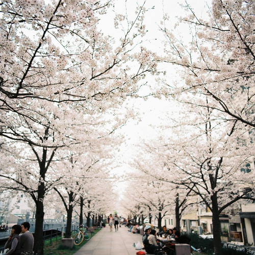 over-ture:  Sakura_2013 (by oceanus2007 (***busy***))