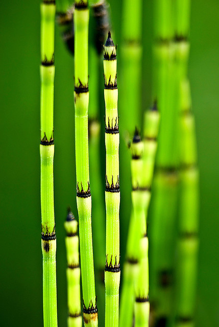 imalikshake:  Equisetum x ferrissi, Jardin des Plantes, Paris, France 2008 by Baloulumix on Flickr.