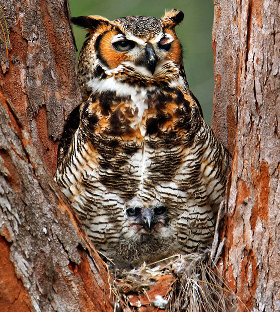 HOOT SUITE  A great horned owl camouflages its baby in Fort De Soto Park, Florida.  (Photo: Marina Scarr / Caters News via The Telegraph)