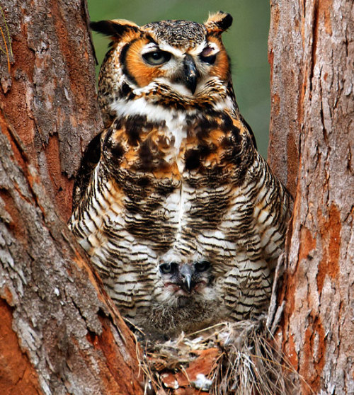 When Marina Scarr first photographed this handsome Great Horned Owl in Fort De Soto Park, Florida, she thought the noble bird was alone. It wasn't until she looked at her photo again later on that she noticed the owl was a proud parent caring for an owlet tucked into its feathered breast. The baby raptor blends in so perfectly, it's practically invisible. That's got to be one of the safest, softest places on earth. It's a pretty awesome shot. [via Telegraph.co.uk]