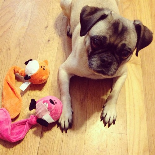 Penny got some birthday presents today! #pug #pugs