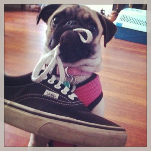 Zoey the sneaker thief! Please follow  @kimbigevil ! #pug #pugs #pugsofinstagram