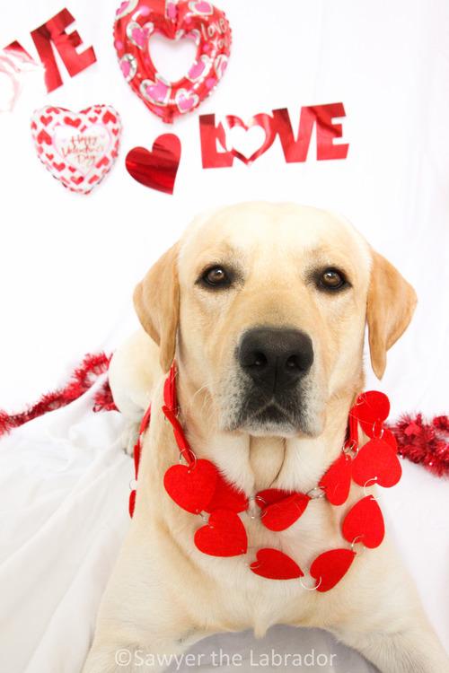 Sawyer The Labrador   Happy Valentine's Day!