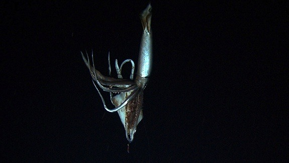 Giant Squid.