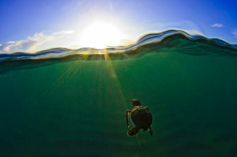 Photo of the Day: The journey begins with a long swim Photo by Christopher Doherty (North Palm Beach, Florida); Juno Beach, Florida