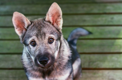 handsomedogs:  Hicko when he was a puppy. He's a Norwegian Elkhound/Jämthund (Swedish Elkhound) mix.