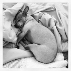 Sleepy chi chi monkey. #chihuahuas #dogstagram