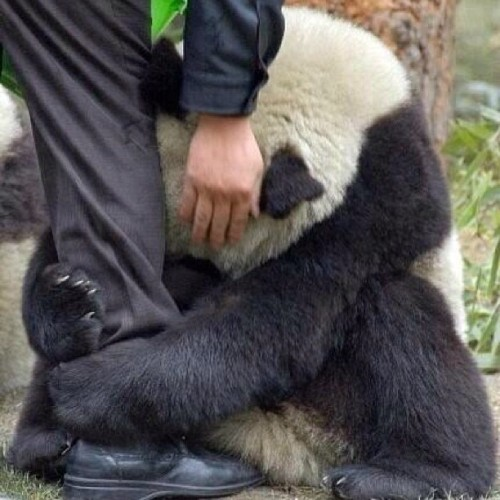 #awwe this is like the cutest thing ever! #adorable #animals #panda #sad #love #cute #dying #omg #baby #icant #hug