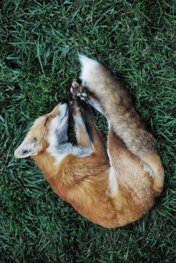 atlanticwounds:  I am a fox.