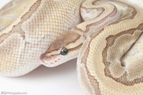 colubridae:  kingpin female ☆ blake herman
