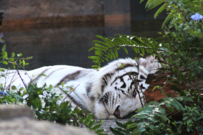 Nap time Lani, the female white Bengal tiger at Busch Gardens Tampa; photographer: Jim H/Greyloch