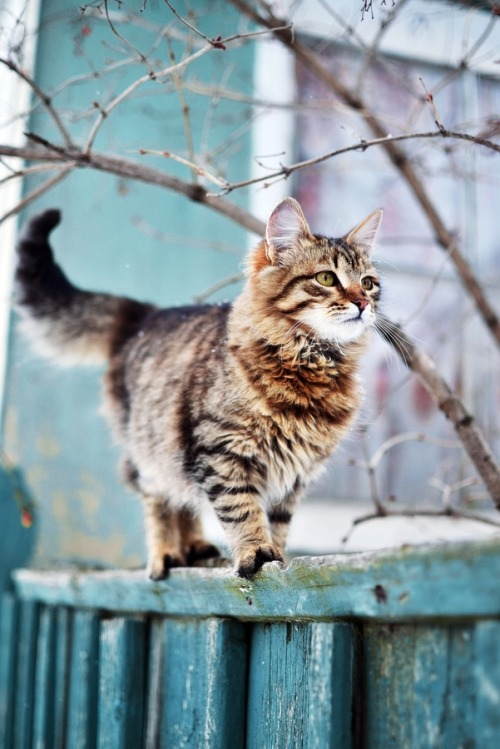 jounink:  photogenicfelines:  (Alina Rustamova)  such a purdy kit-kat