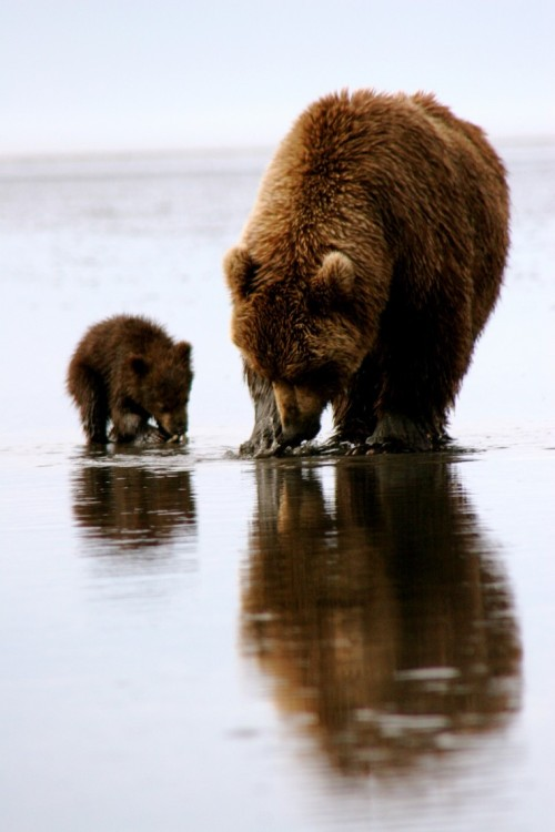 funnywildlife:  Beary much like mother!!