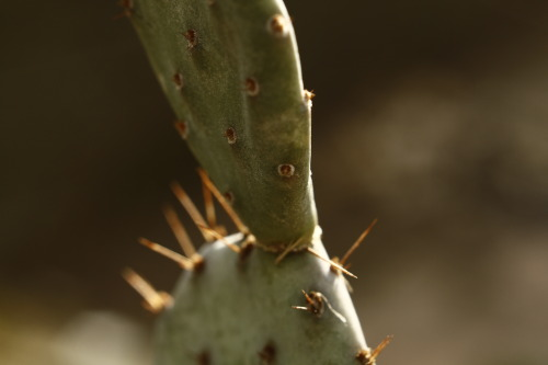 brittaniejonesphotography:  Might be anthropomorphism, but, this cactus cactguy sent me last fall looks very solemn and thoughtful. Probably very upset to lose all it's breathren to frost…  Opuntia basilaris 'Baby Rita' is such a photogenic prickly pear, but all the mini and micro ones are.
