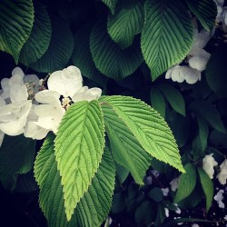 Sometimes the leaves out shine the blossoms.  Species: #Viburnum               Leaf Shape: #Acuminate         Margin: #Serrate                    Venation: #Pinnate              #botanical #botany #horticulture