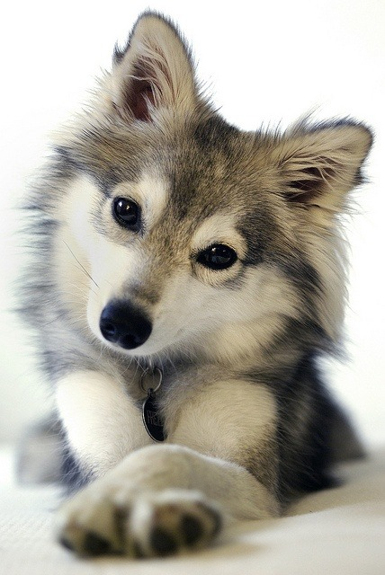 kurenai-rose:  What type of dog is this? It looks like a husky cross fox!
