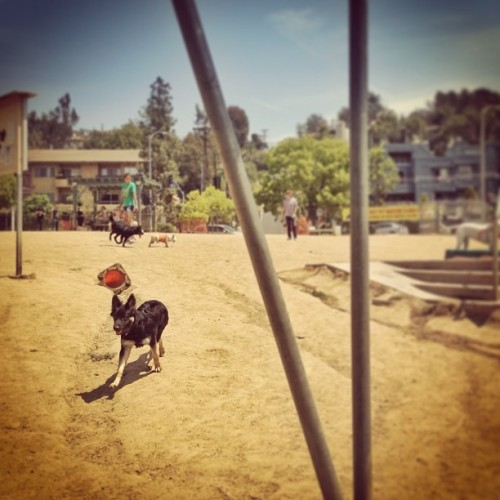 Silverlake dog park today, where taylor lived it up.