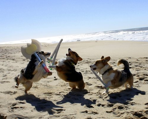 gracehelbig:  niknak79:  Corgi Battle  OH. NO.