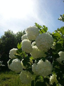 The Guelder Rose Flowers (Viburnum opulus Roseum) - Public Domain Photos, Free Images for Commercial Use