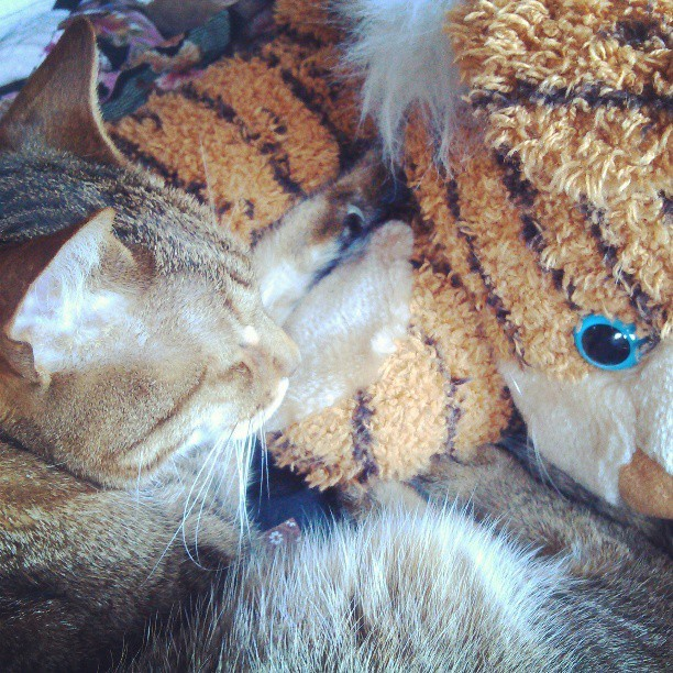 There is something so adorable about Nobi cuddling with a stuffed tiger. <3 #kitties