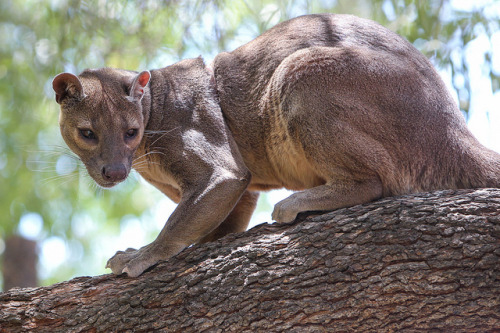 Fossa by Noah M on Flickr.The fossa is one of the top predators on the island of Madagascar.