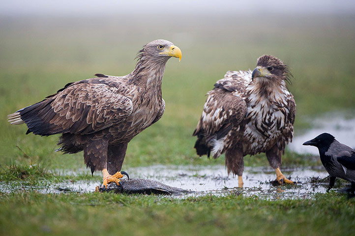allcreatures:   White-tailed eagles with a fish as a hooded crow stands nearby, Hungary. This hooded crow may be four times smaller than a white-tailed eagle, but it didn't stop it from demanding some of the bird of prey's fish supper. The brave crow was spotted tugging on the tail feathers of the eagle in an effort to move it away from the tasty fish it had caught  Photograph: Will Nicholls /Rex Features (via The week in wildlife - in pictures | Environment | guardian.co.uk)