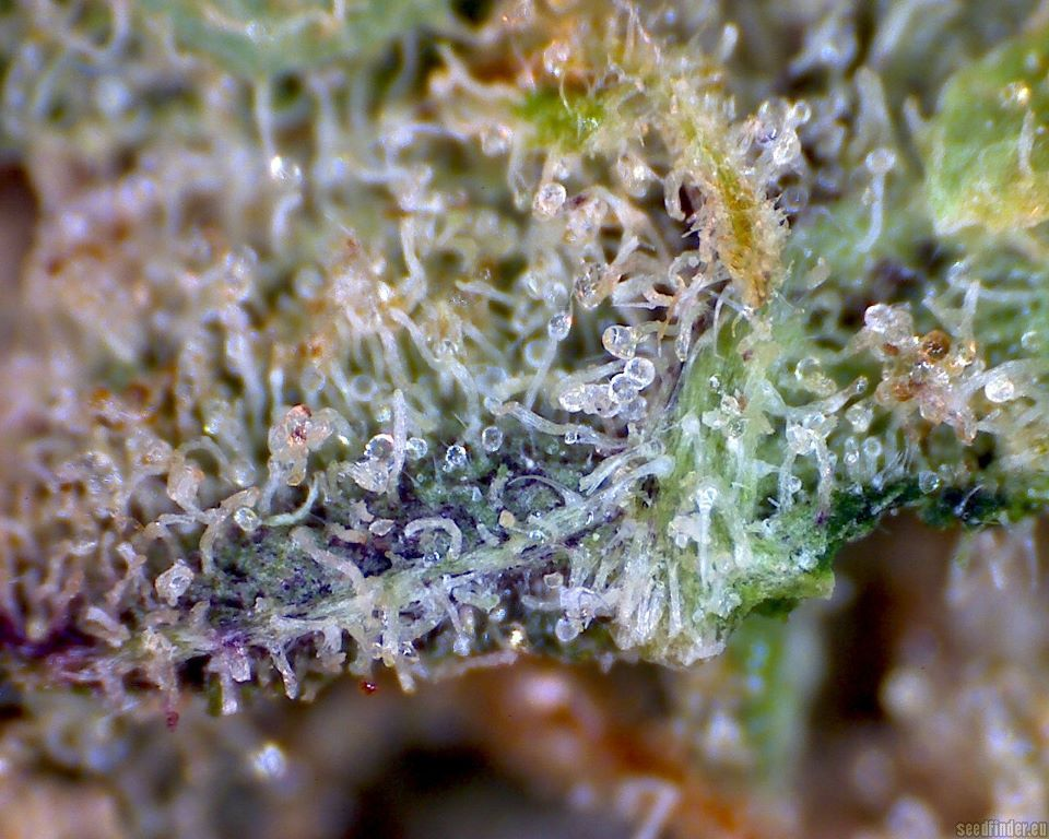 littlefredricks:  superlemon haze… leggo