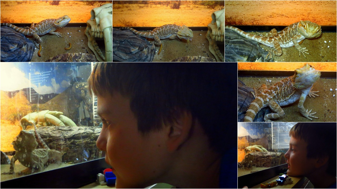 "A boy and his dragon… Meet ""Spike"", Andrew's bearded dragon. More here."