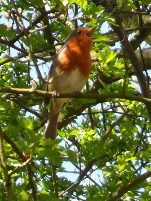 Robin sings at Ambion Wood, Market Bosworth, Leicestershire, England All Original Photography by http://vwcampervan-aldridge.tumblr.com