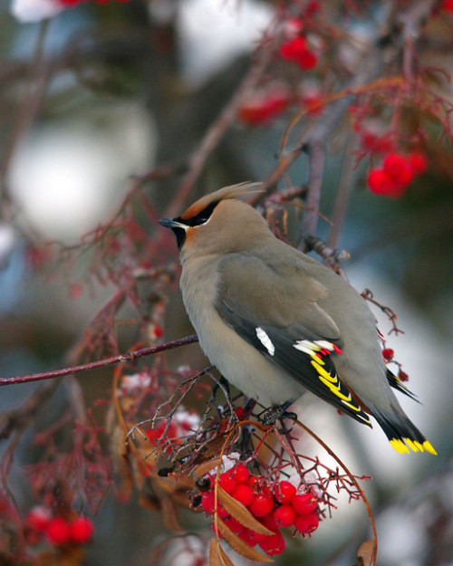 Bohemian Waxwing( Explored #309) by caseyphoto68 on Flickr.