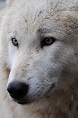 brutalgeneration:  TImber wolf by jibber11 on Flickr.