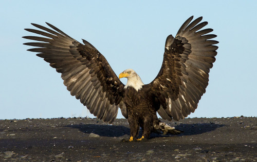Eagle Rises As Phoenix by Scott Bourne http://flic.kr/p/e6z9Pa