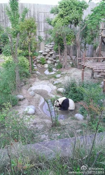 Panda in the Panda Park @ Chengdu, China. She is sitting in the water to cool down!!! CUTE!