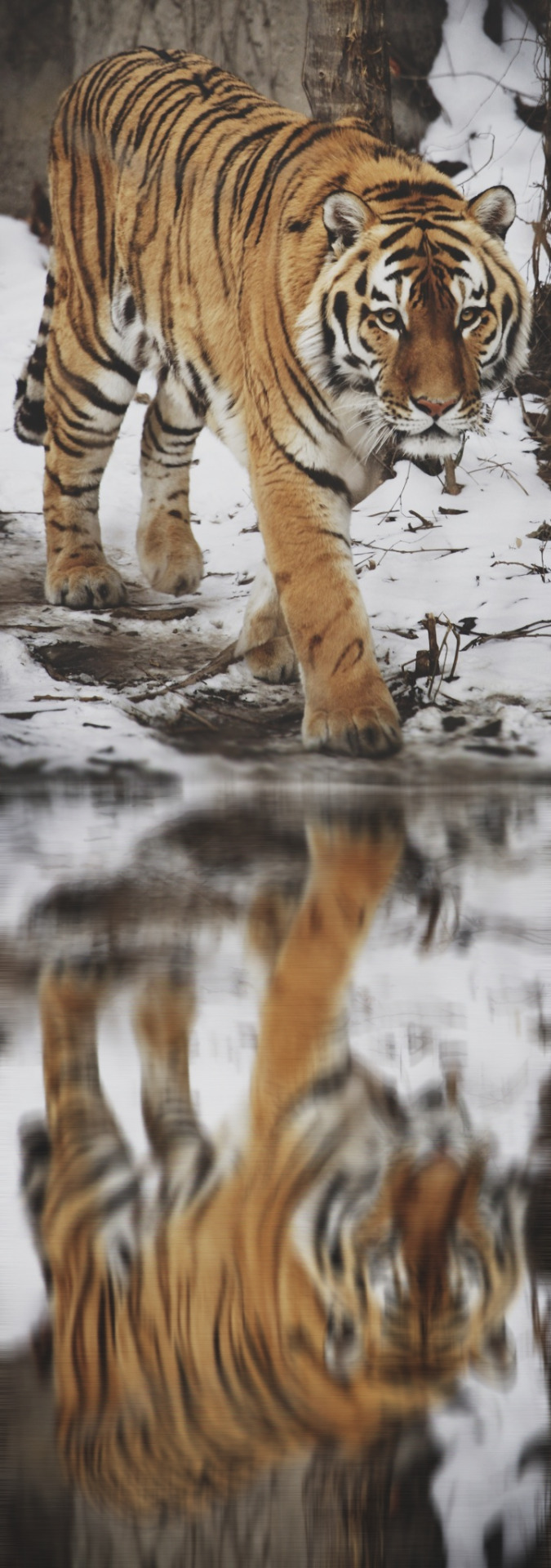 Okay, last tiger reflection, I think this one looks more natural