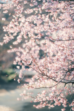 j-p-g:  Kanzakura (winter cherry blossoms) (via sn0pan)