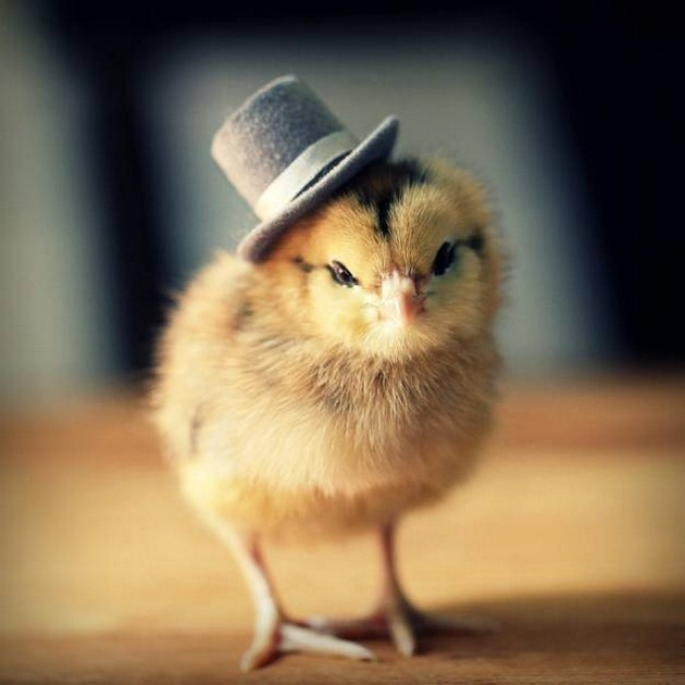 kawaiimon:  Chicks in hats