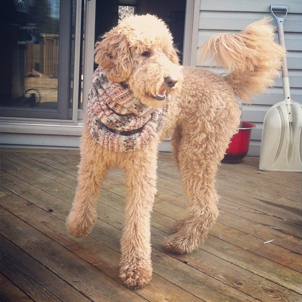 Lucie loves Mac&Joe! #scarf #dog  #fashion #dogfashion #macjoe