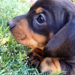 Cute Dachshund Pictures on facebook.com